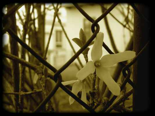 ...v uličkách rozkvetl žlutý květ...