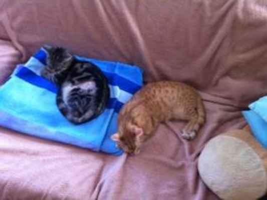 8.2.2015 - 8.2.2015 Tak teď odpočinek po pořádném řádění :) provedenou kastraci u Markétky už připomíná jen jizva. Jinak jsou kočičky už v pohodě.