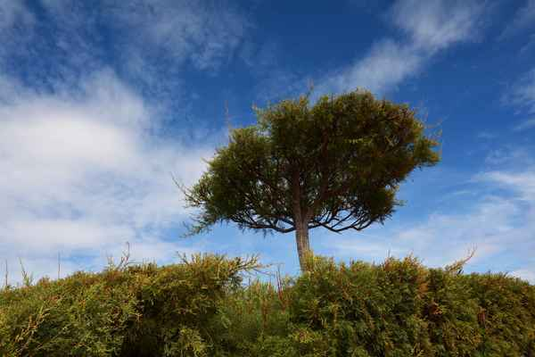 stromeček vystříhaný ze živého plotu