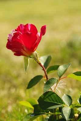 Maurice Utrillo - Začíná kvést poslední z nových růžiček... :o)